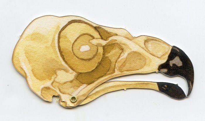 Hawk (Red-Tailed) Skull Model®.