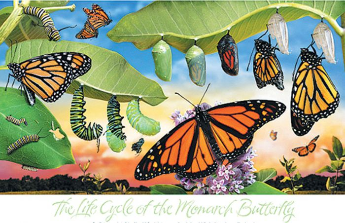 Monarch Life Cycle Poster (Laminated)
