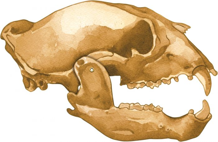 Bear (Black) Skull Model®.