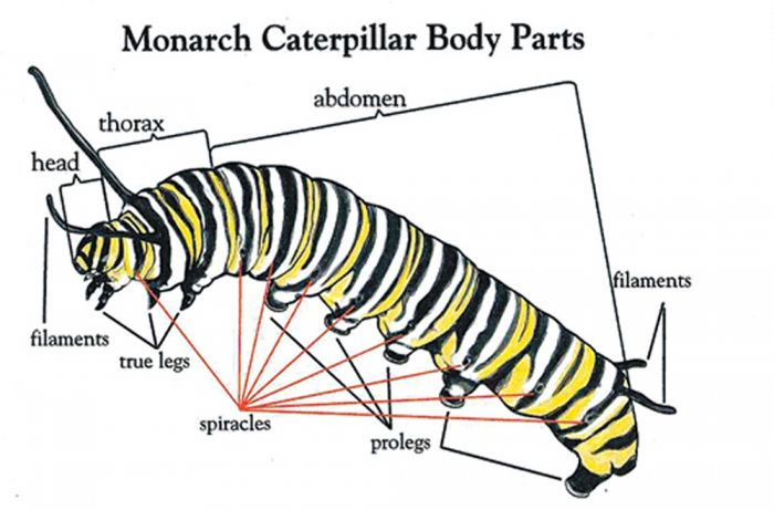 Monarch Life Cycle Flash Cards