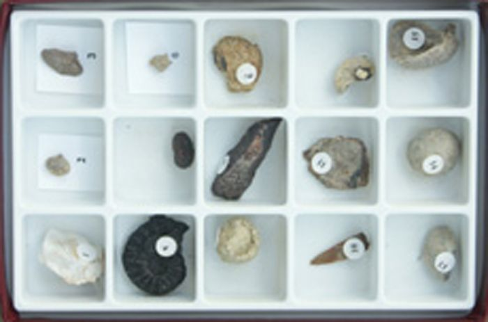 Fossils Over Time - Mesozoic Collection