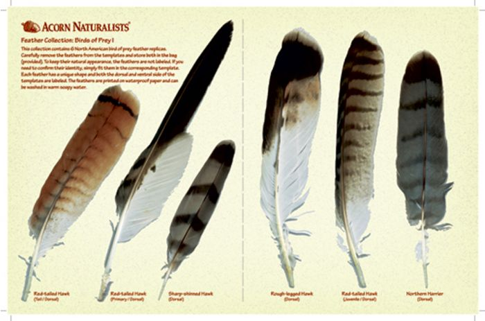 North American Bird Feather Replicas Set: Birds Of Prey I.