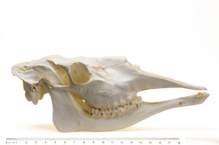 Moose Skull Replica