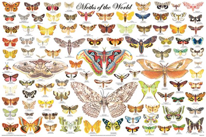 Moths Of The World Poster (Laminated)