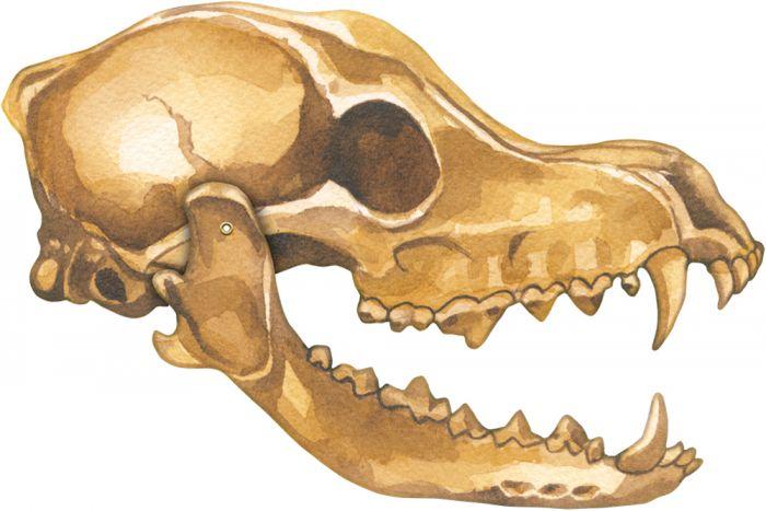 Coyote Skull Model®.