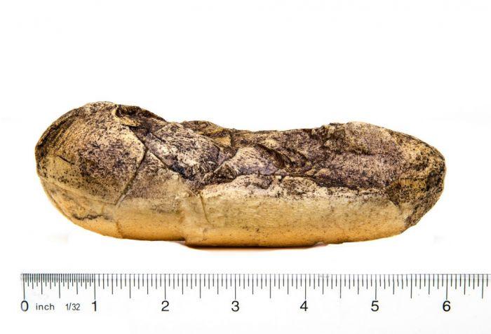 Oviraptor Fossil Egg Replica