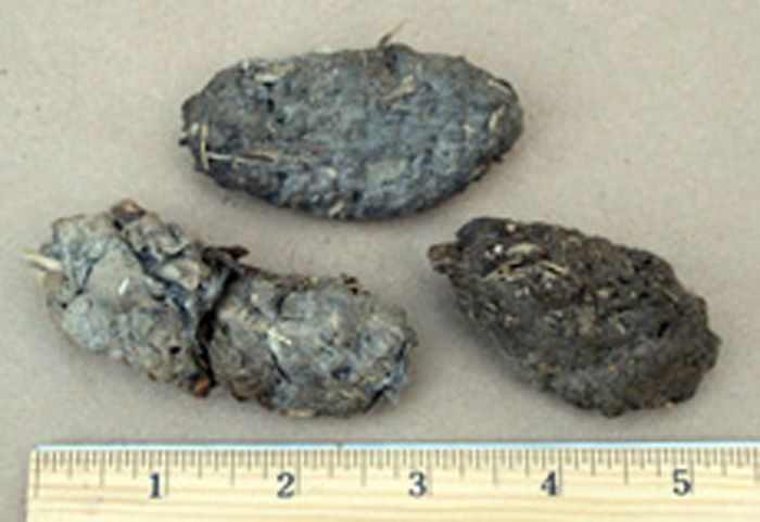 Great Horned Owl Pellet