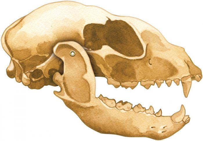 Raccoon Skull Model®.