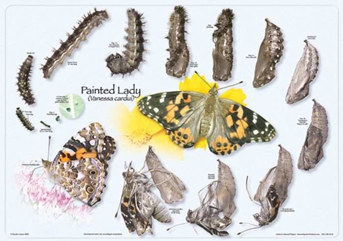 Painted Lady Life Cycle Poster (Laminated)