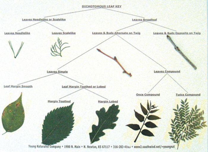 Dichotomous Leaf Key Display