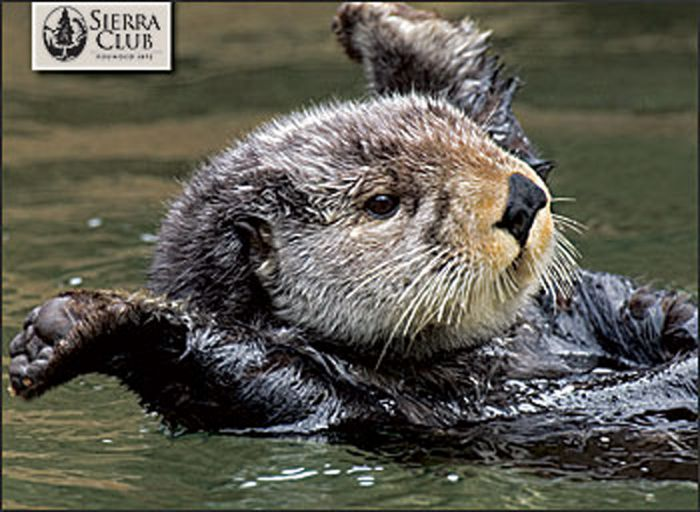Otters (Boxed Notecards)