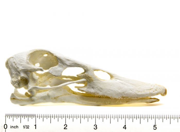 Duck (Domestic) Skull Replica