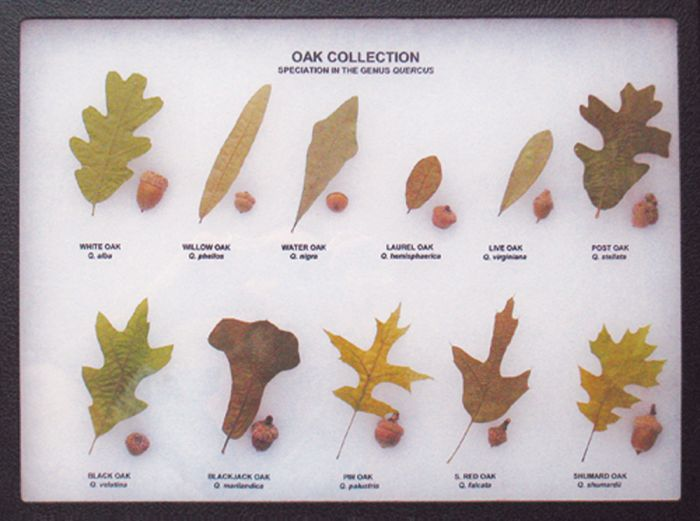 Oaks And Their Acorns Display