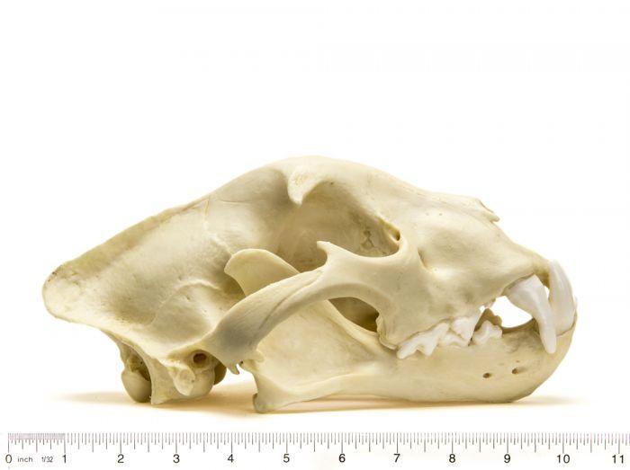 Jaguar Skull Replica