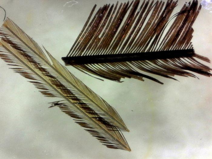 Feathers, three types (prepared microscope slide)