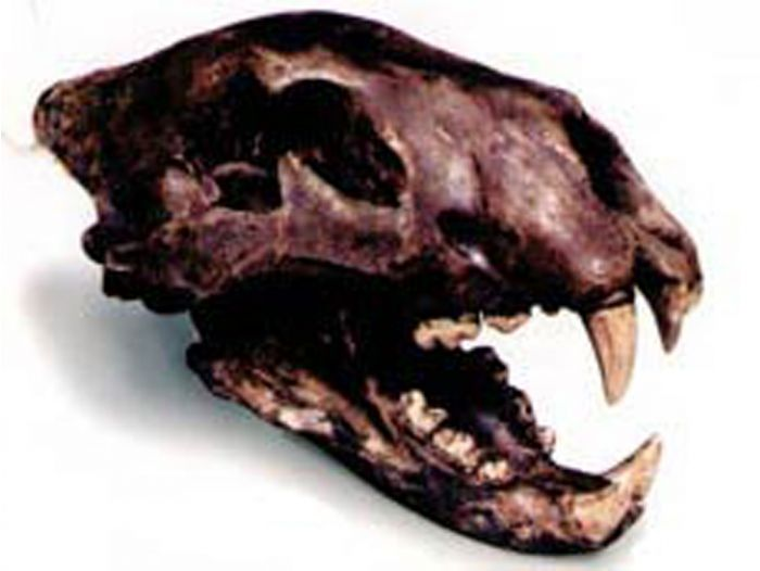 Lion (American) Fossil Skull Replica