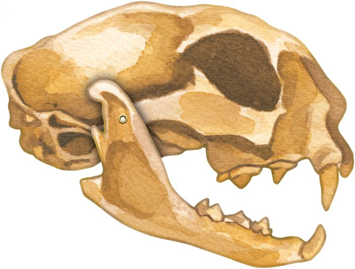Bobcat Skull Model®.