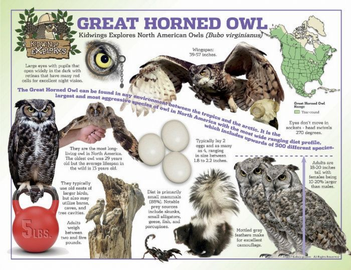 Great Horned Owl Laminated Poster
