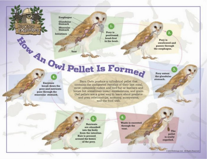 How an Owl Pellet is Formed Laminated Poster