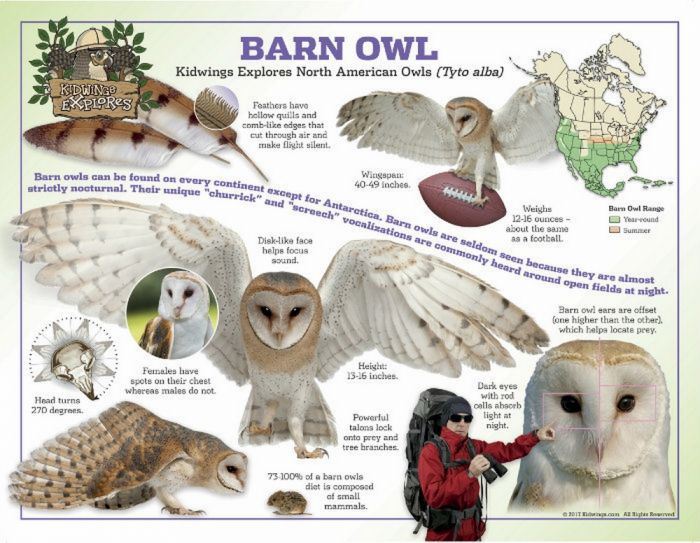 Barn Owl Laminated Poster