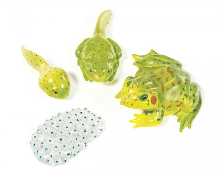 Frog Life Cycle Models (Leopard Frog)