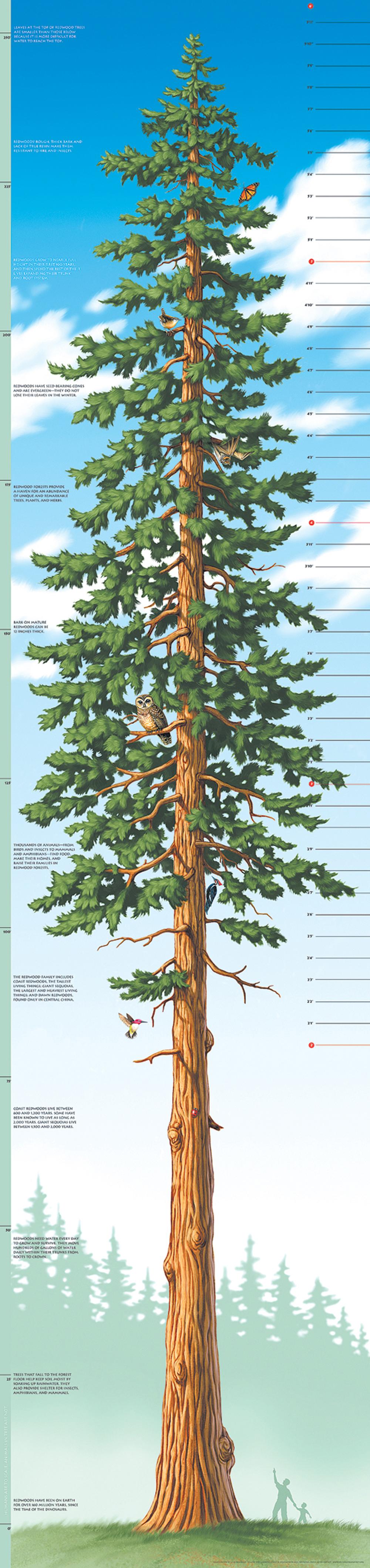 Tallest Tree Growth Chart