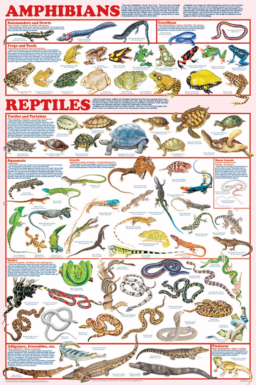 Amphibians & Reptiles (Laminated Poster)