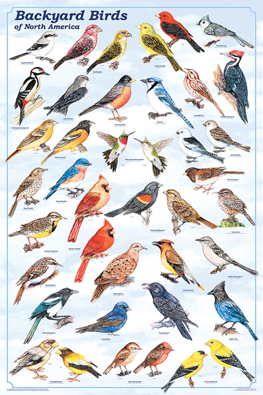 Backyard Birds of North America (Laminated Poster)