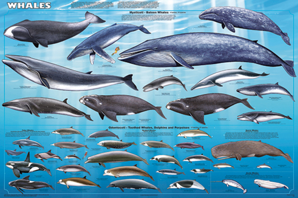 Whales (Laminated Poster)