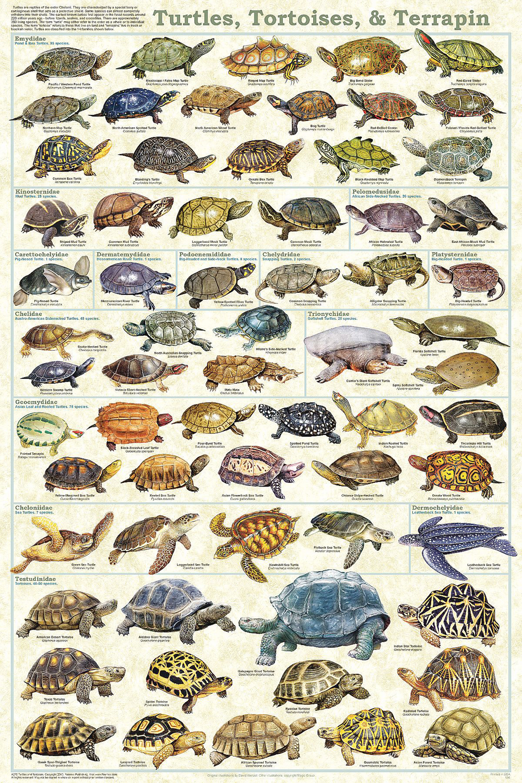 Turtles & Tortoises (Laminated Poster)