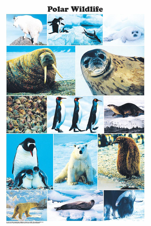 Polar Wildlife (Laminated Poster)