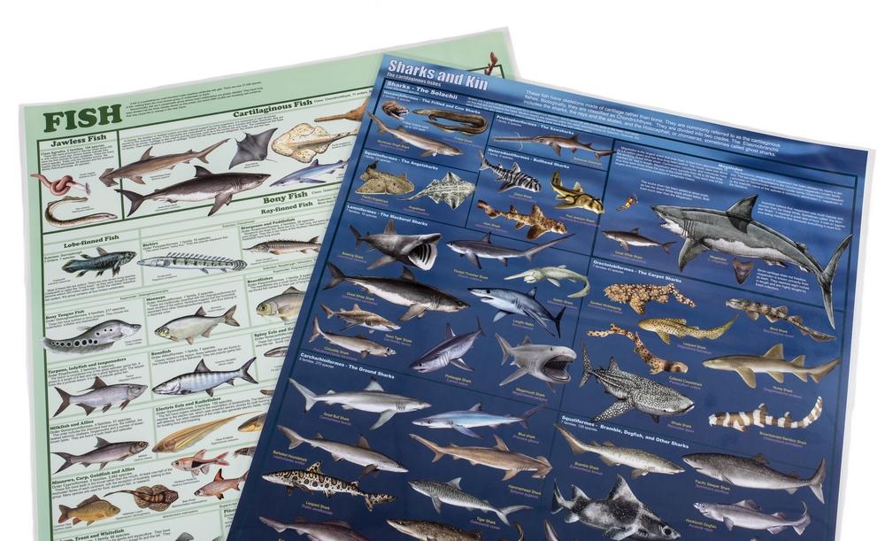 Fish & Sharks Laminated Poster Set (Discounted Set of 2 Posters)