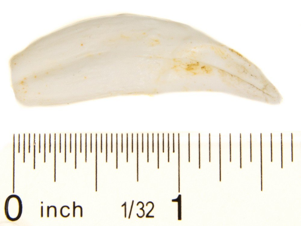Cougar Canine Tooth Replica