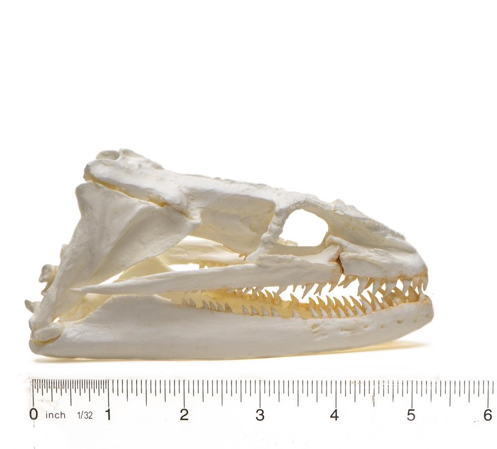 Eel (Moray) Skull Replica