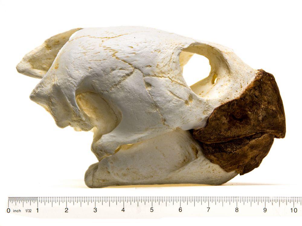 Sea Turtle (Loggerhead) Skull Replica