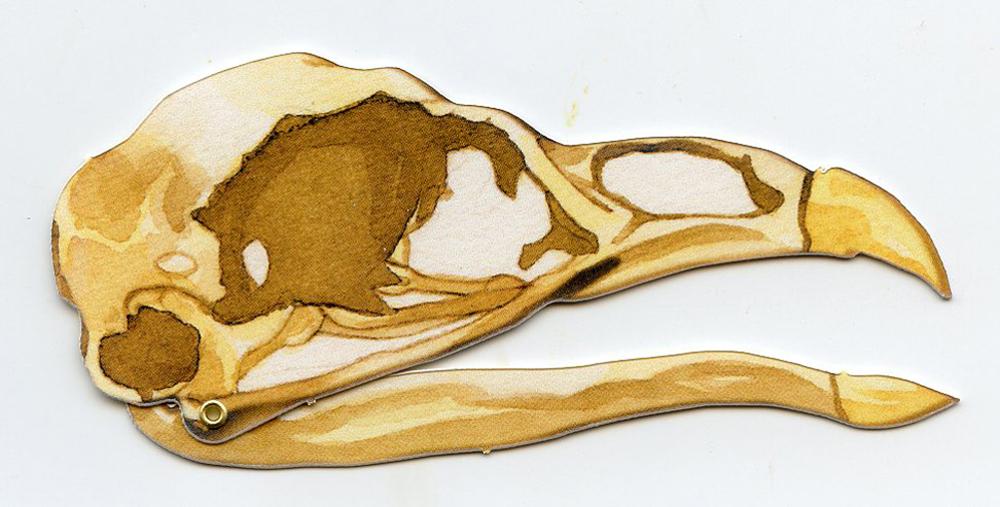 Turkey (Wild) 2D Skull Model®
