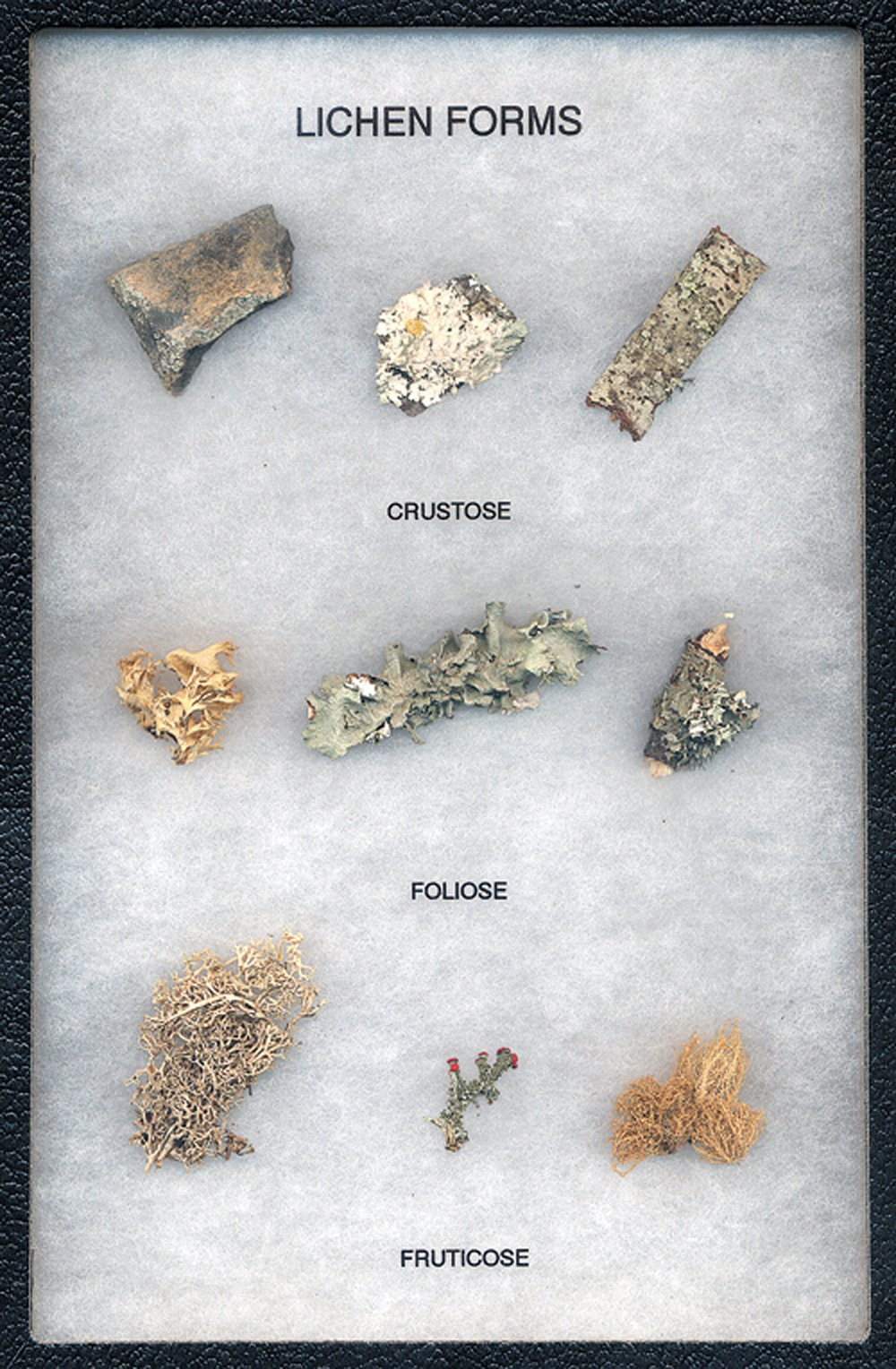 Lichen Shapes and Types Display