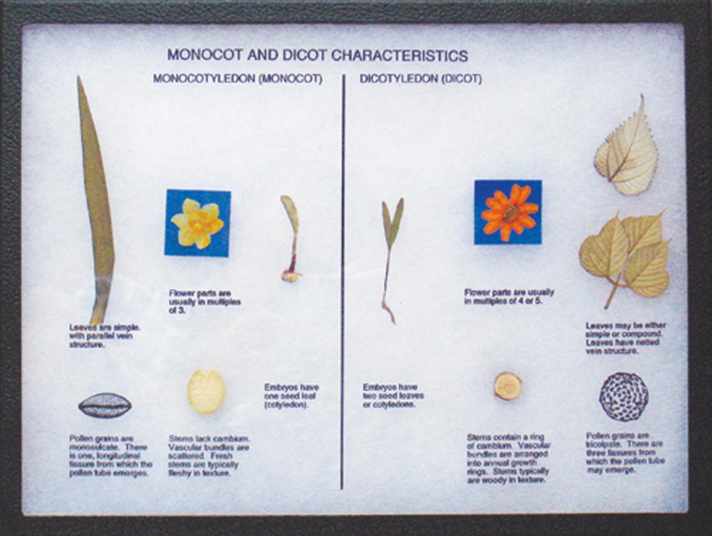 Monocot and Dicot Characteristics Display