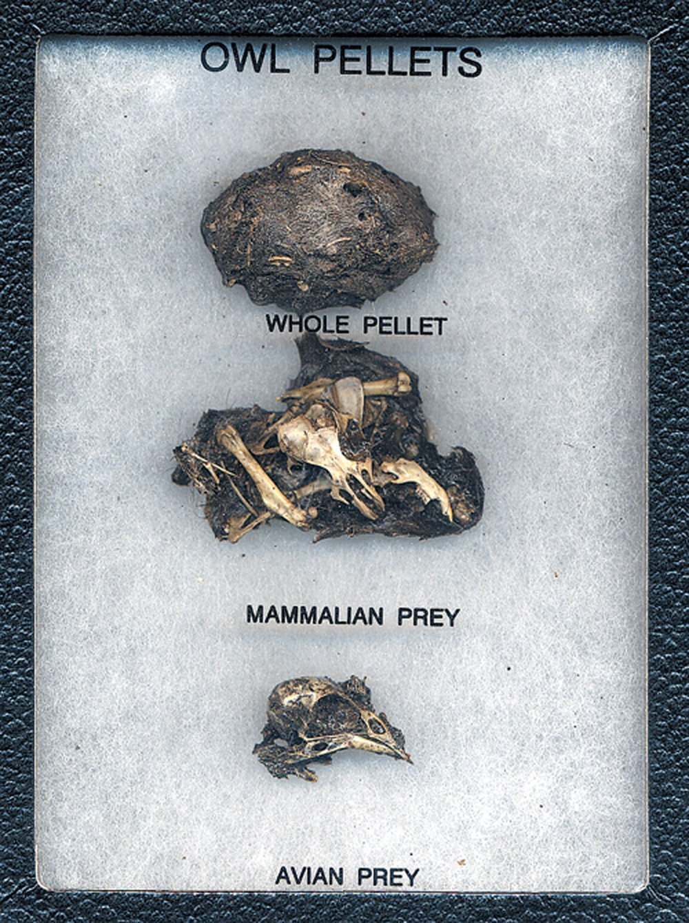 Owl Pellet Dissection Display