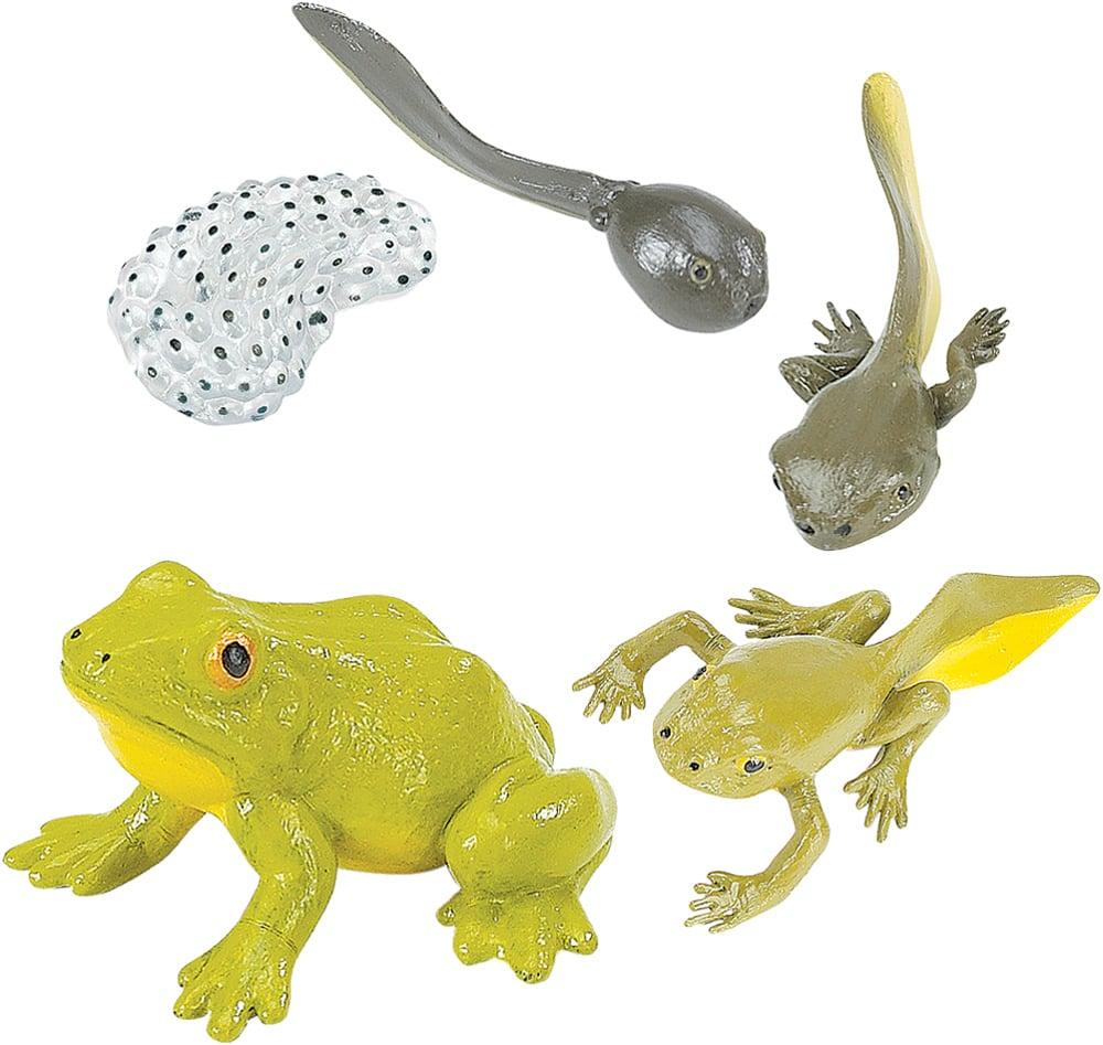 Frog Life Cycle Models Set (Bullfrog)