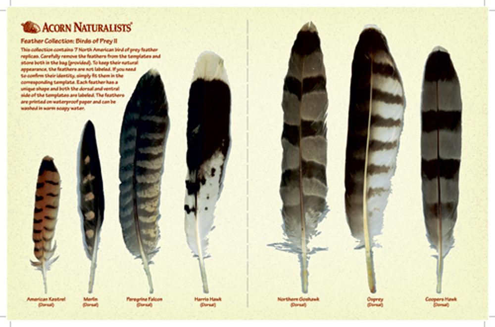 North American Bird Feather Replicas Set Birds Of Prey Ii
