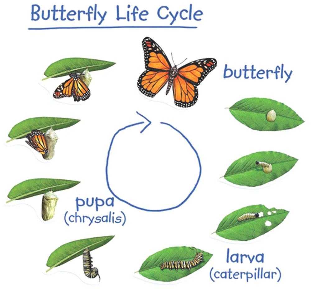 Monarch Life Cycle Magnets